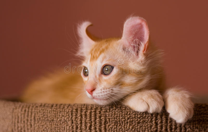 American Curl kitten royalty free stock photo