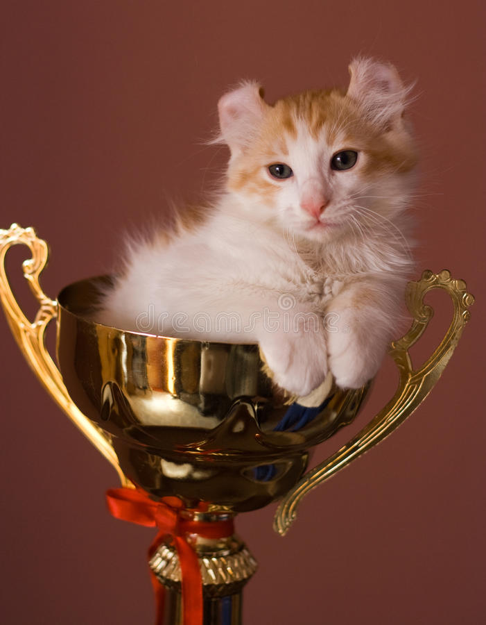 American Curl kitten royalty free stock photography