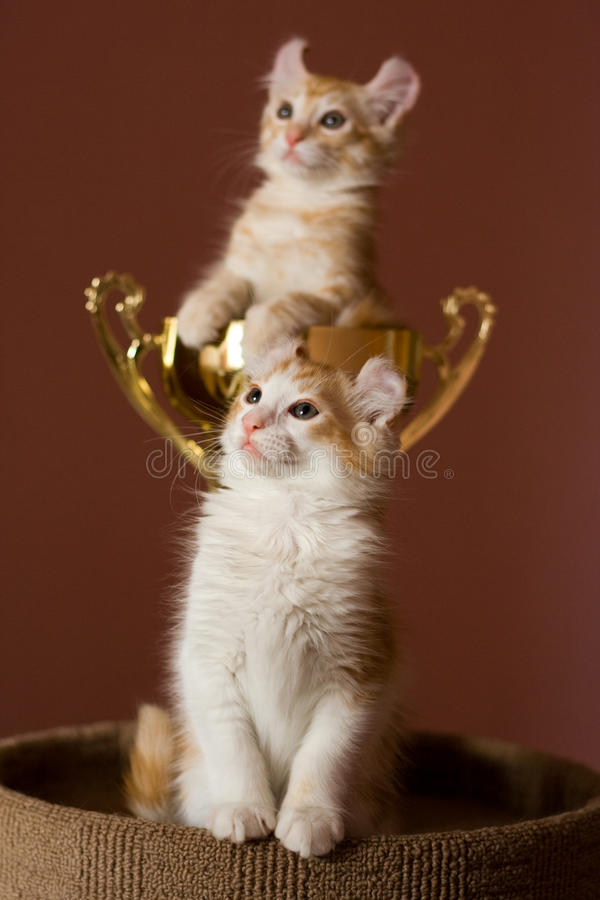 American Curl kitten stock images