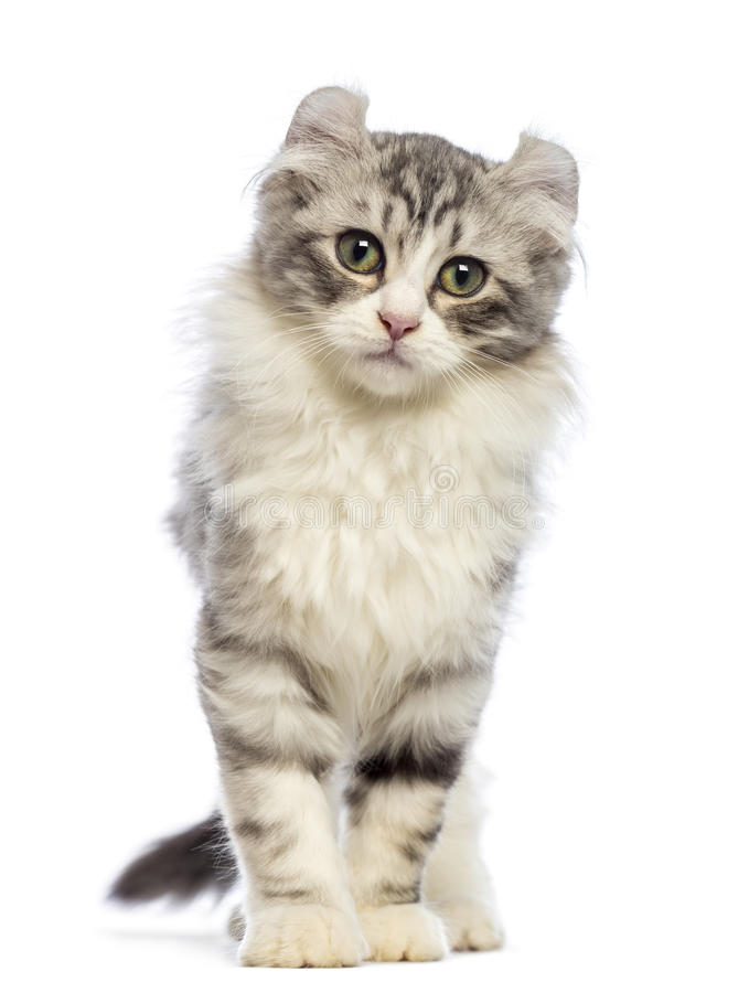 American Curl kitten, 3 months old, looking at the camera. In front of white background stock photos