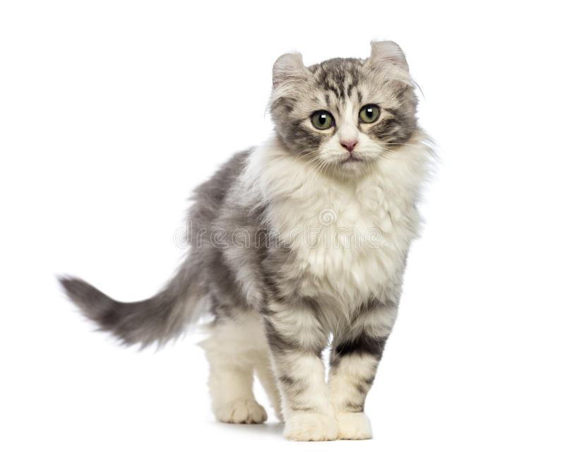 American Curl kitten, 3 months old, looking at the camera. In front of white background stock image
