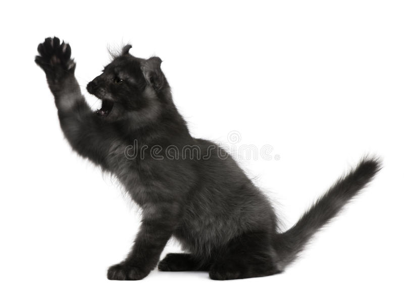 American Curl Kitten, 3 months old, with paw up stock photography