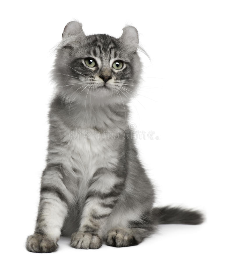 American Curl Kitten, 3 months old, sitting. In front of white background stock photography