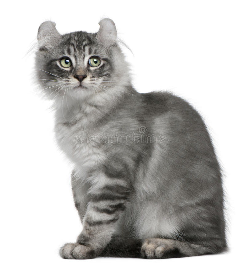 American Curl Kitten, 3 months old, sitting royalty free stock image