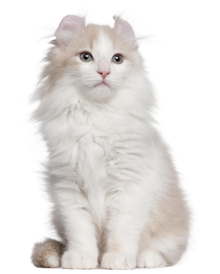 American Curl kitten, 3 months old, sitting. In front of white background stock image