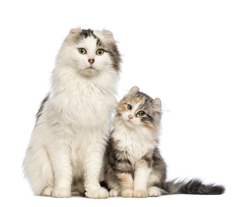 American Curl kitten, 3 months old, sitting with its mum. In front of white background stock photo