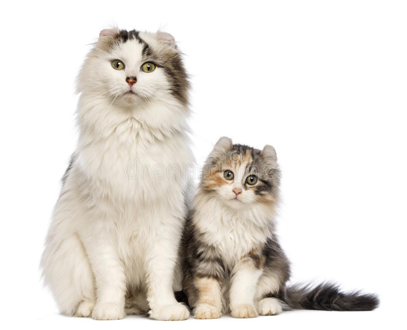 American Curl kitten, 3 months old, sitting with its mum stock images