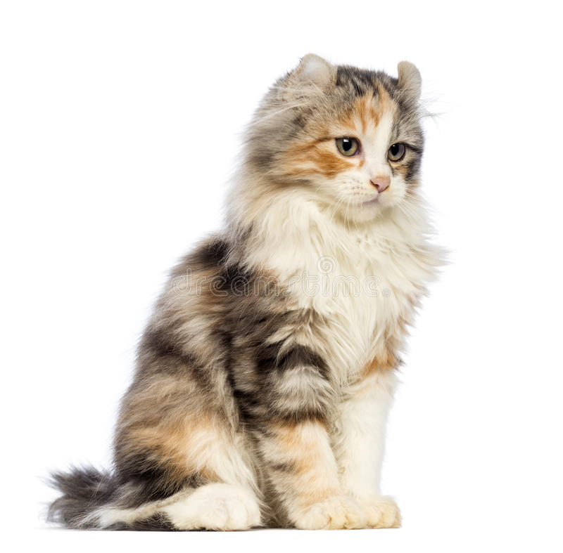 American Curl kitten, 3 months old, sitting and looking away royalty free stock images