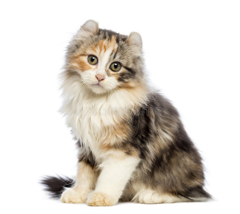 American Curl kitten, 3 months old, sitting and looking at the camera. In front of white background royalty free stock photography