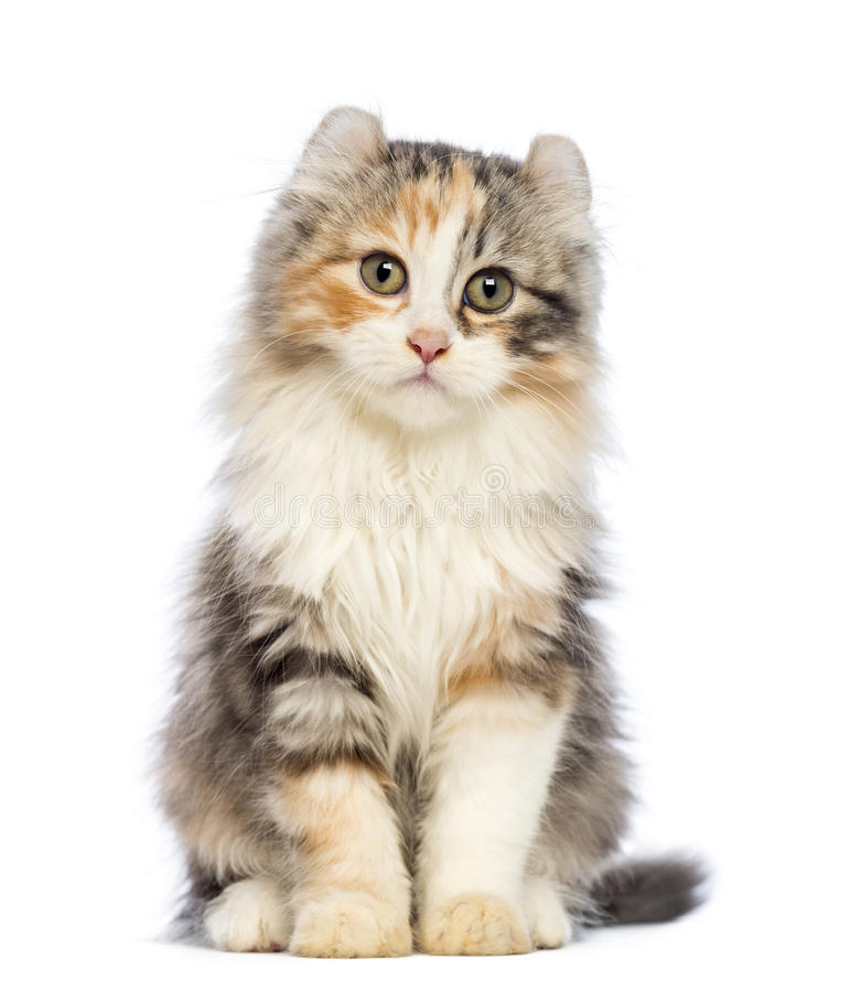 American Curl kitten, 3 months old, sitting and looking at the camera. In front of white background royalty free stock photo