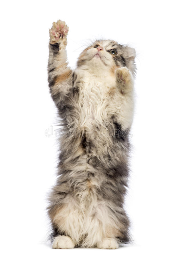 American Curl kitten, 3 months old, standing on hind leg and reaching. In front of white background stock photo