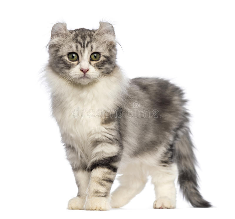 American Curl kitten, 3 months old, standing and looking at the camera. In front of white background royalty free stock photo