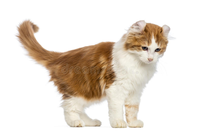 American Curl kitten, 3 months old, standing and looking down stock image