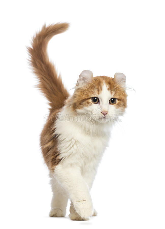 American Curl kitten, 3 months old, walking. In front of white background royalty free stock photography
