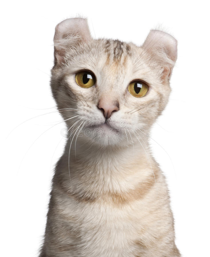American Curl kitten, 7 months old. In front of white background stock images