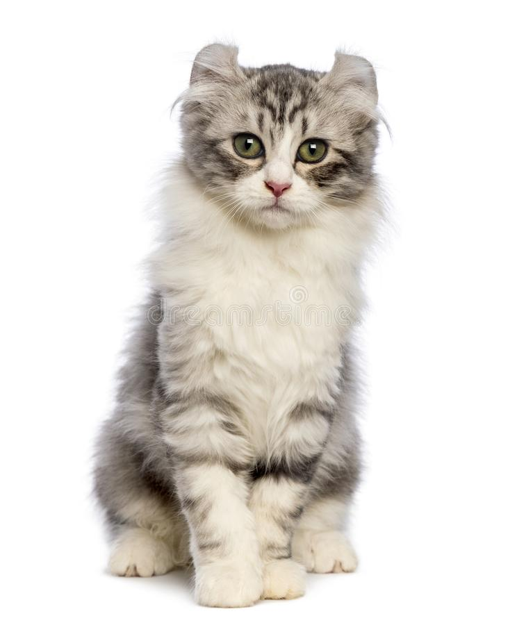 American Curl kitten, 3 months old, sitting and looking at the c. Amera in front of white background stock photos