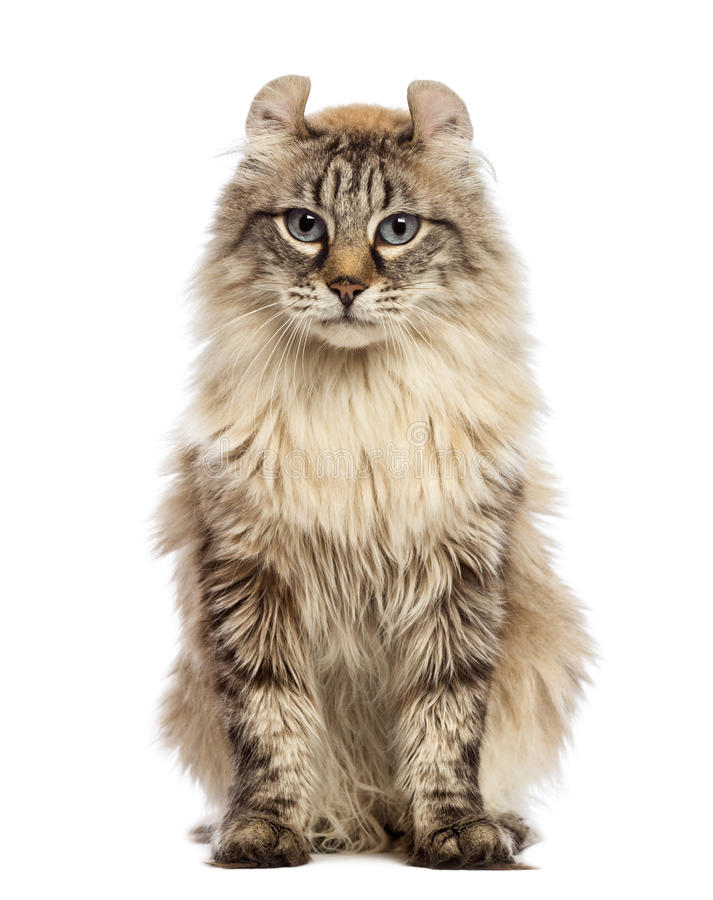 American Curl sitting and looking at the camera stock image