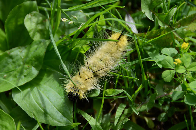 American Dagger Moth caterpillar - Acronicta americana. When this caterpillar turns into a moth, it is the region`s largest dagger moth, easily recognized by its royalty free stock photo