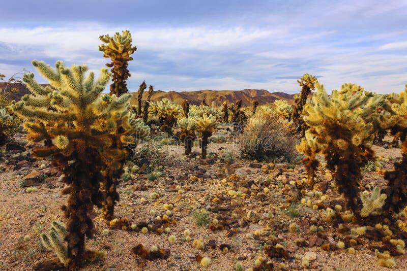 American desert landscape. Cholla cactuses in the Cactus Garden area, Joshua Tree National Park. royalty free stock photos