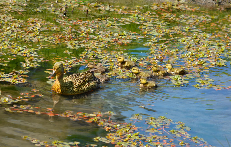 American duck with baby ducklings swimming in lake. American duck with baby ducklings swimming in pond. Charlotte, North Carolina, USA stock photos