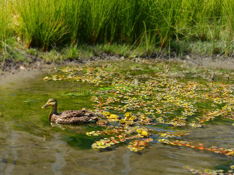 American duck with baby ducklings swimming in pond. Charlotte, North Carolina, USA stock photos