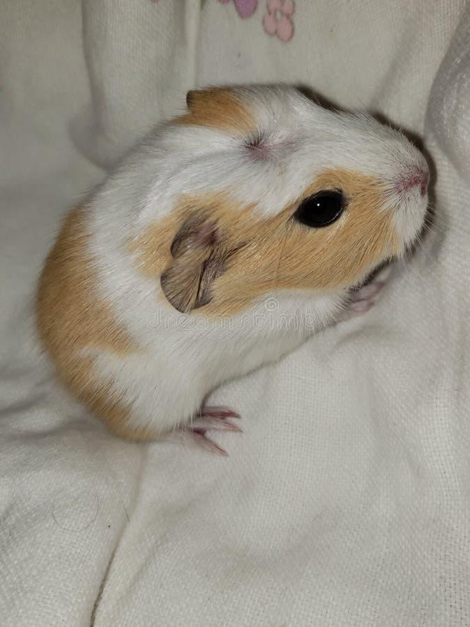 American dutch guinea pig stock photography