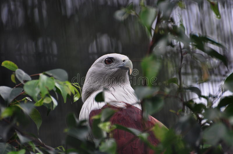 Download American Eagle stock photo. Image of wildlife, canada - 12782836