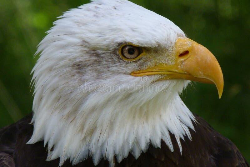 American Eagle Free Public Domain Cc0 Image