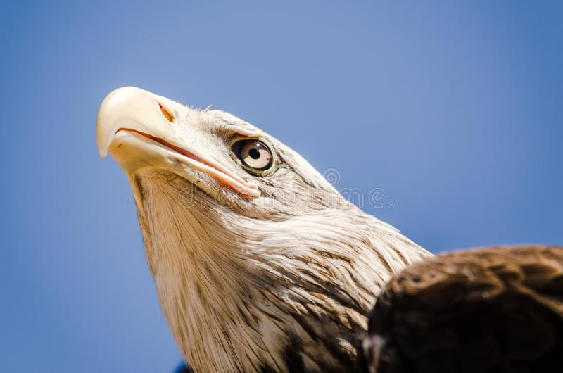 American eagle face expression. Close up bottom view royalty free stock photos