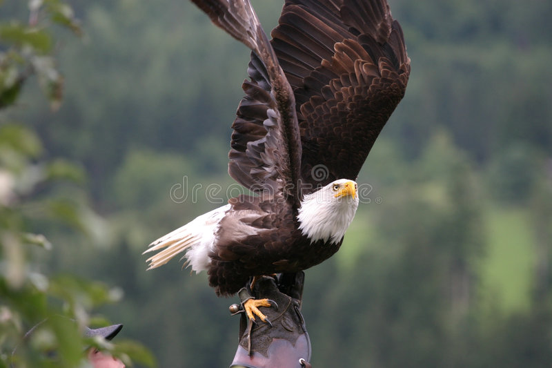 American eagle with falconer. An american Eagle in the hands of a falconer and ready to lift-off royalty free stock image