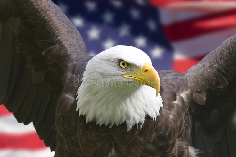 American eagle with flag. Bald eagle with American flag, focus on head (clipping path royalty free stock images