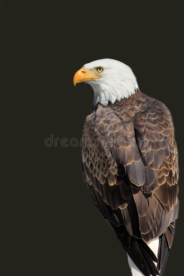 American Eagle - Haliaeetus leucocephalus stock photos