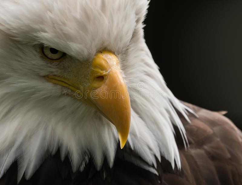 American eagle - The symbol of the President royalty free stock photography