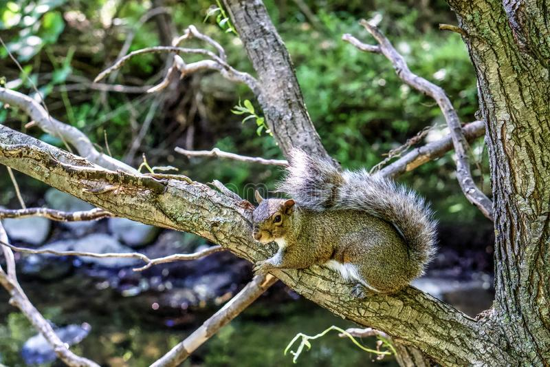 American Eastern gray squirrel on a branch royalty free stock photography