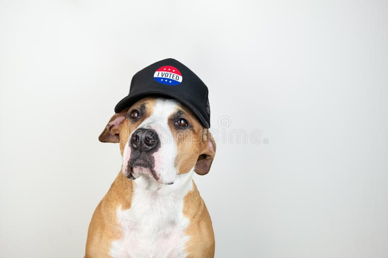 American election activism concept: staffordshire terrier dog in patriotic baseball hat. Pitbull terrier in trucker hat with. `i voted` sign in studio stock photos