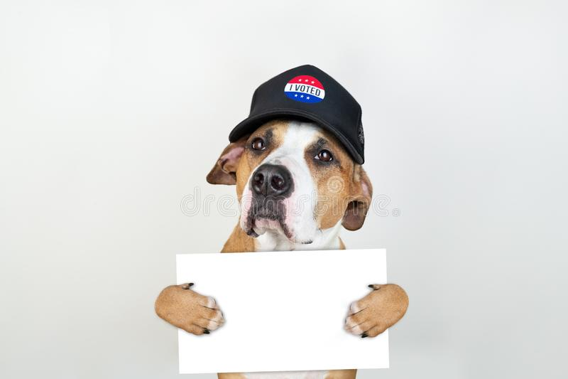 American election activism concept: staffordshire terrier dog in patriotic baseball hat. Pitbull terrier in trucker hat with empty sign in studio background stock photo