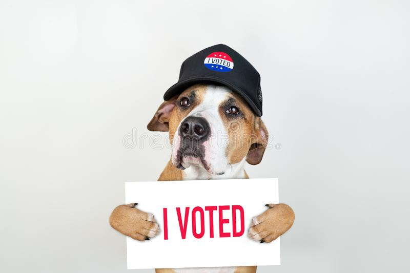 American election activism concept: staffordshire terrier dog in patriotic baseball hat. Pitbull terrier in trucker hat with `i voted` sign in studio royalty free stock photo