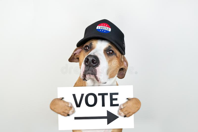 American election activism concept: staffordshire terrier dog in patriotic baseball hat. Pitbull terrier in trucker hat with. `vote` sign in studio background royalty free stock image