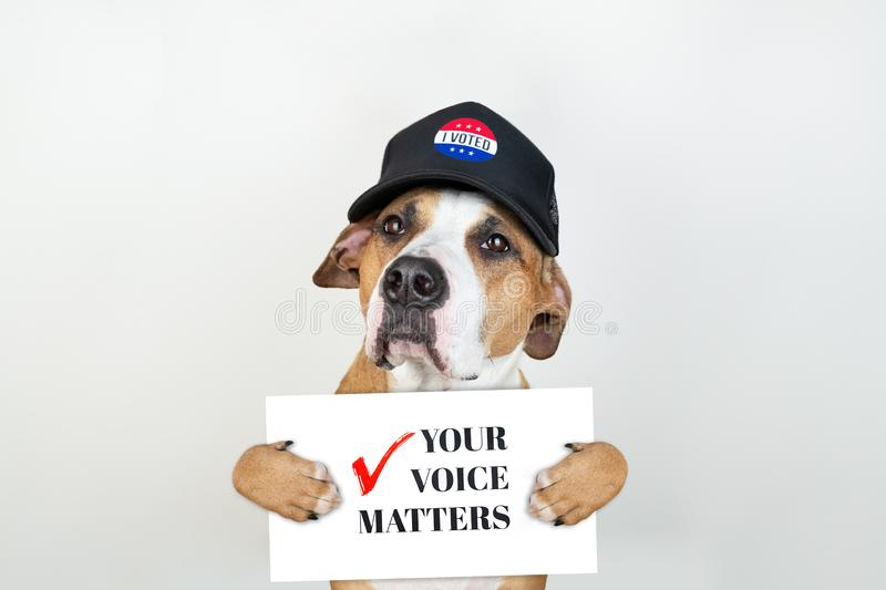 American election activism concept: staffordshire terrier dog in patriotic baseball hat. Pitbull terrier in trucker hat with `your voice matters` sign in royalty free stock images