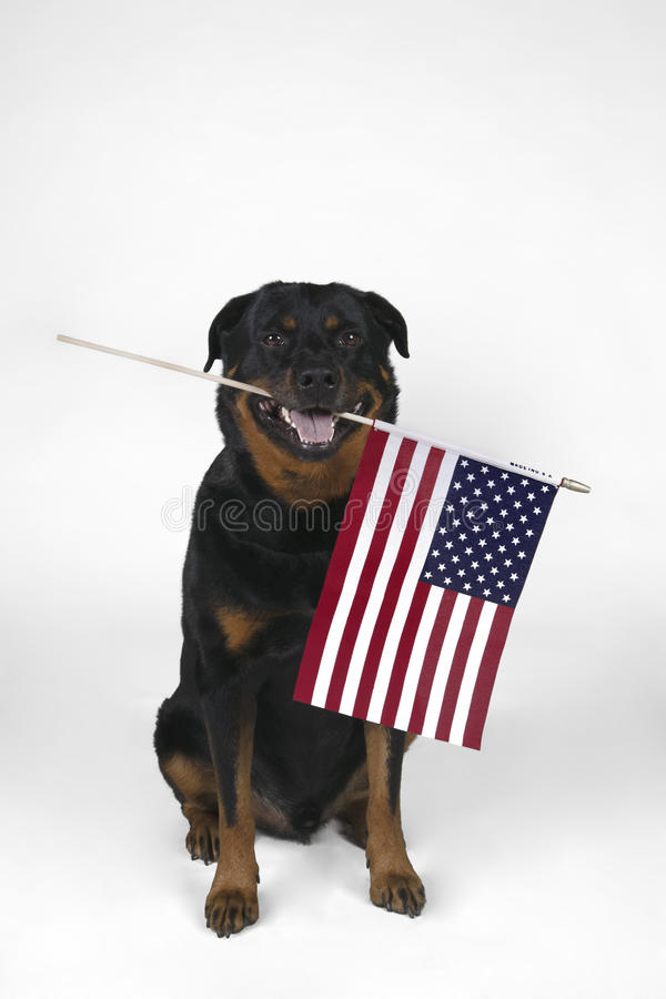 American Flag. A Rottweiler holding an American Flag stock photography