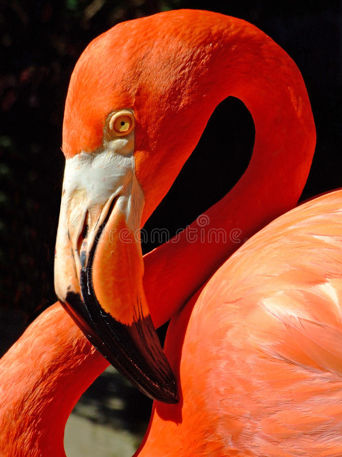 American flamingo. The American Flamingo (Phoenicopterus ruber), a large species of flamingo closely related to the Greater Flamingo and Chilean Flamingo stock photography