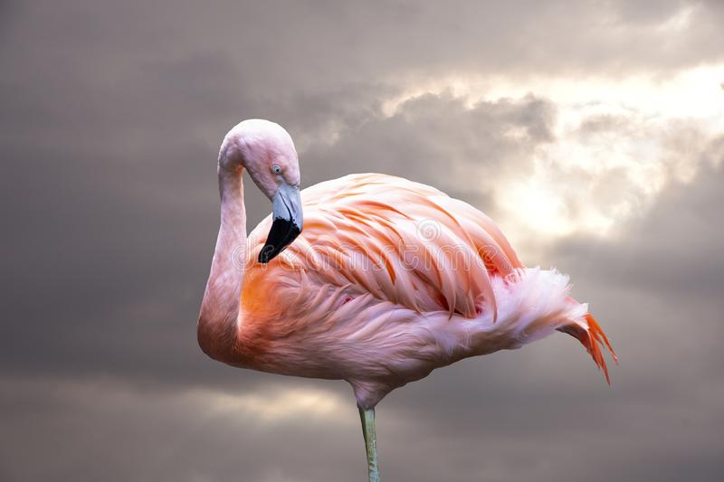American Flamingo. The American flamingo Phoenicopterus ruber is a large species of flamingo also known as the Caribbean. Flamingo stock photography