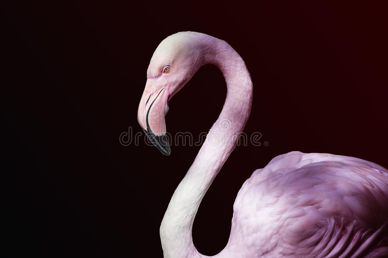 American Flamingo isolated. The American flamingo Phoenicopterus ruber is a large species of flamingo also known as the. Caribbean flamingo stock photos