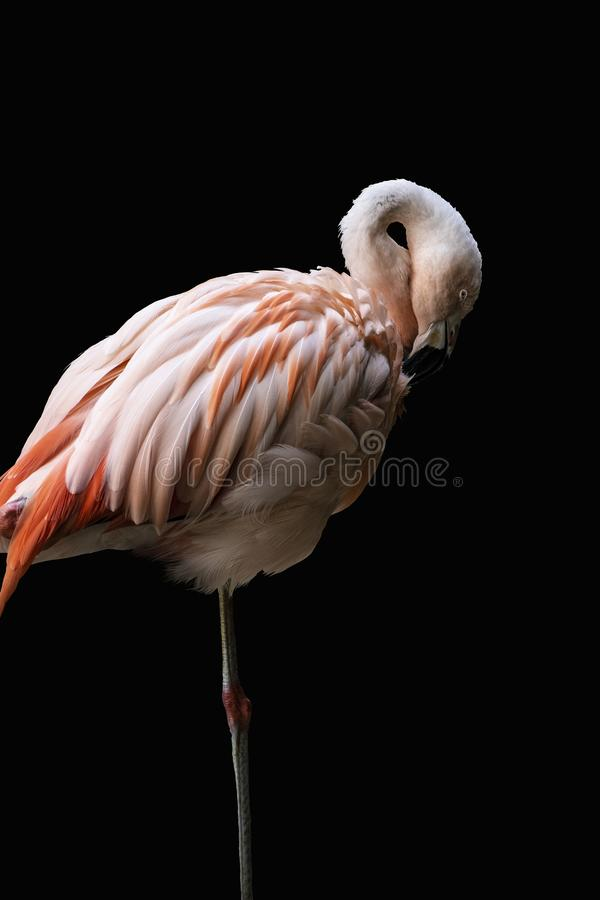 The American flamingo Phoenicopterus ruber, isolated on black background. Large species of flamingo also known as the Caribbean. Flamingo stock photos