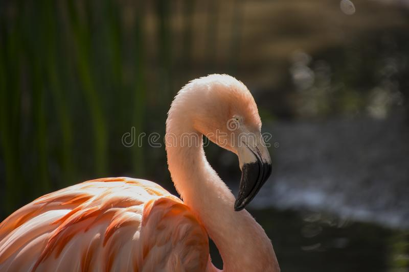 The American flamingo Phoenicopterus ruber is a large species of flamingo also known as the Caribbean flamingo.  royalty free stock photos