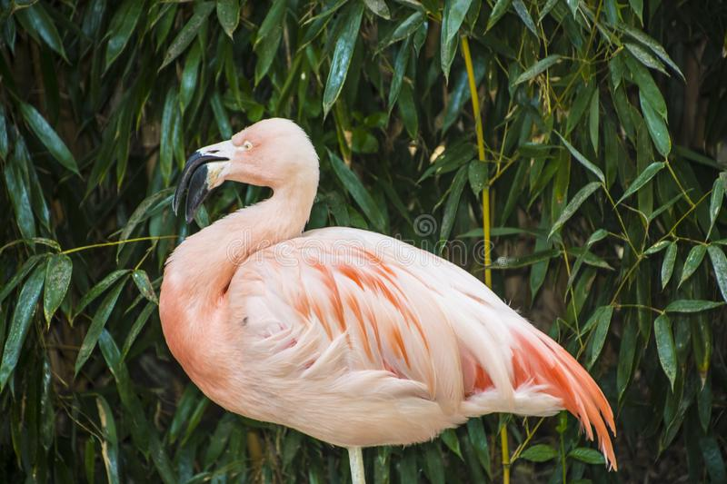 The American flamingo Phoenicopterus ruber is a large species of flamingo also known as the Caribbean flamingo.  stock image