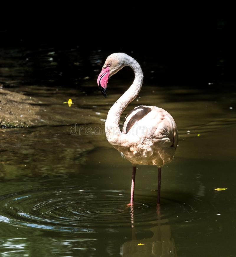 The American flamingo, Phoenicopterus ruber is a large species of flamingo. Also known as the Caribbean flamingo stock photo
