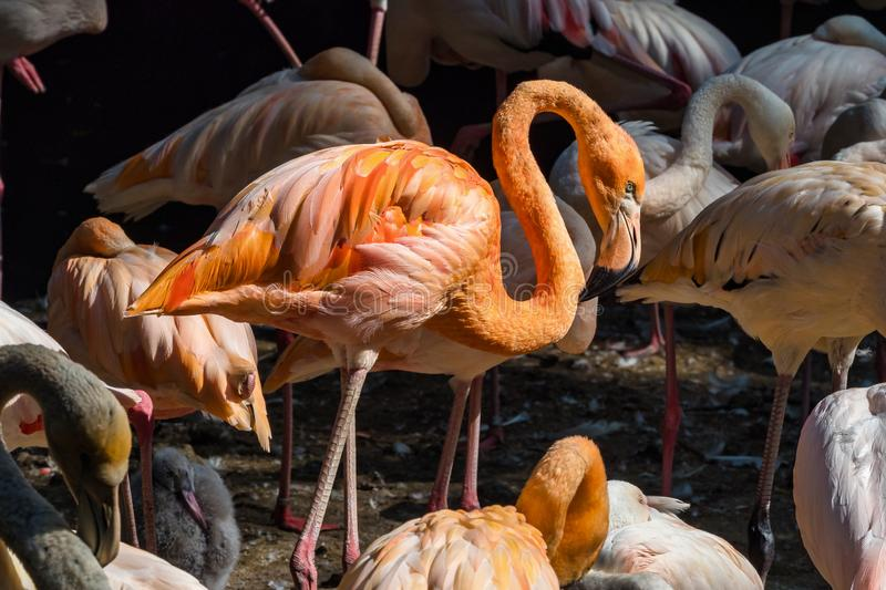 The American flamingo, Phoenicopterus ruber is a large species of flamingo. Also known as the Caribbean flamingo royalty free stock photo