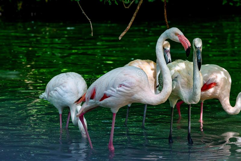 The American flamingo, Phoenicopterus ruber is a large species of flamingo. Also known as the Caribbean flamingo stock photography