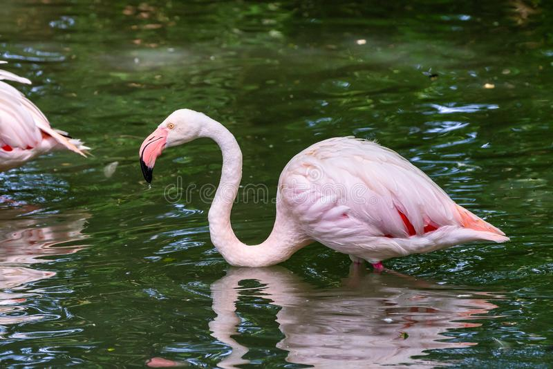 The American flamingo, Phoenicopterus ruber is a large species of flamingo. Also known as the Caribbean flamingo stock image
